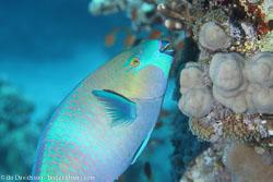 BD-120422-St-Johns-6002-Scarus-ferrugineus.-Forsskål.-1775-[Rusty-parrotfish].jpg